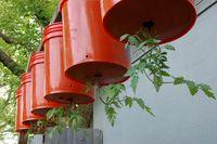 630px-Upsidedowntomatoes